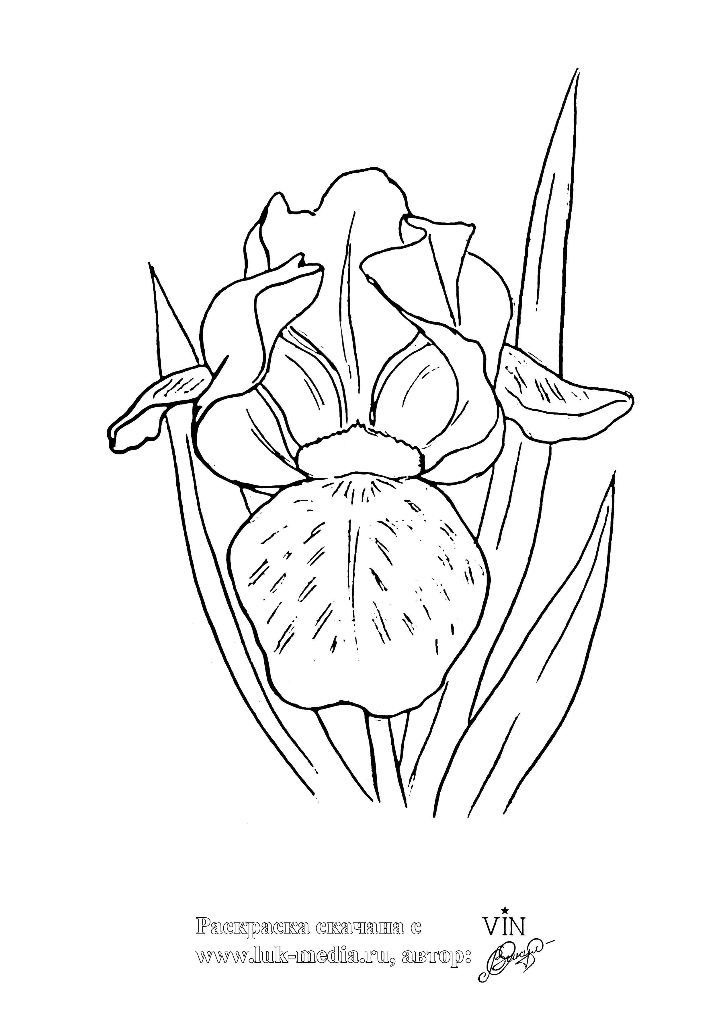 Ирис Картинки раскраски цветы