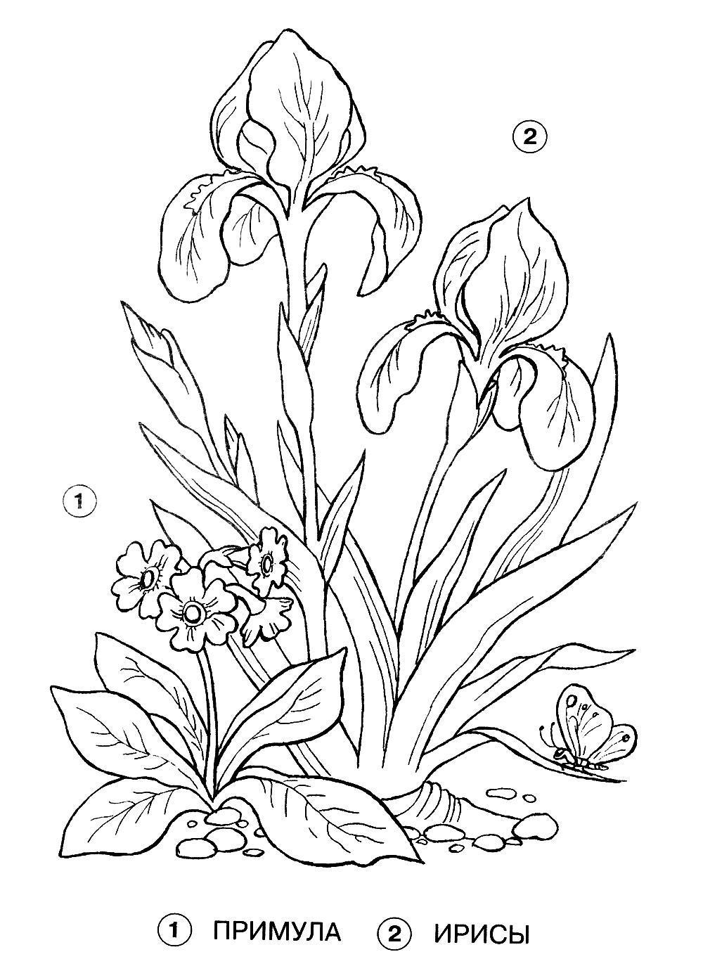 Полевые цветы примула и ирисы