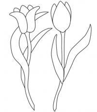 Тюльпаны два вида