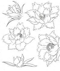 Пион этапы распускания цветка