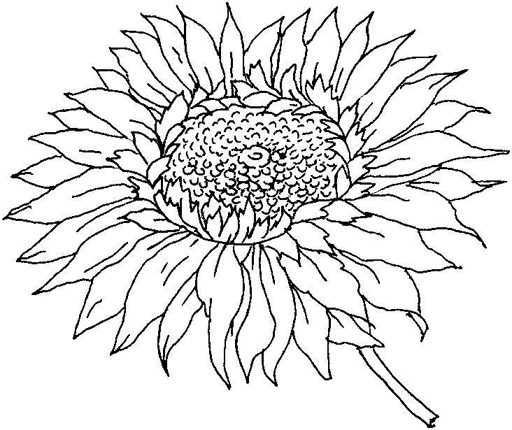 Цветок подсолнуха