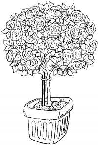 Куст розы цветет